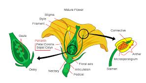 petal wikipedia