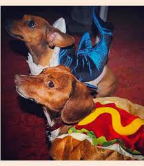 Halloween Costumes Dachshunds 53 Funny Dog Halloween Costumes Cute Ideas Pet Costumes