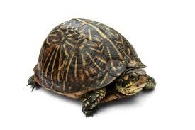 Texas Map Turtle Box Turtle Wikipedia