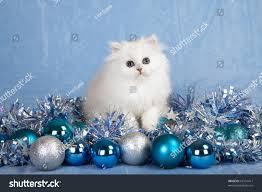 silver chinchilla persian kitten silver blue stock photo 62101417