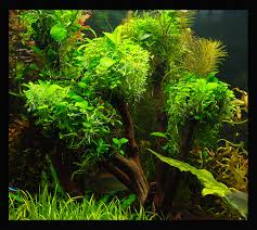 which moss for tree the planted tank forum