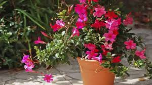 mandevilla dipladenia red riding hood perennial flowering vine