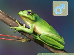 how to tell if your tree frog is or 9 steps