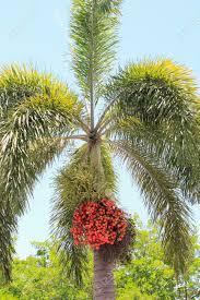 scientific name foristmas tree names treescientific of