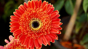 Yellow Orange Flowers - wallpaper gerbera flowers orange flowers hd 5k flowers 5842