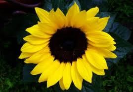 sunflower sunflowers petal petals free images imaiges
