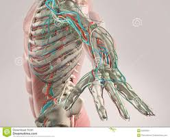 Human Anatomy Torso Diagram Human Anatomy Torso Diagram Picture Of Torso Anatomy With Top 10