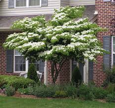 white kousa dogwood tree for front yard with sitting bench