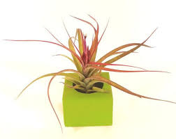 Desk Plant 119 Best Air Plants Images On Pinterest Air Plants Plants And