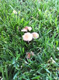 fescue should i be concerned about mushrooms in my lawn