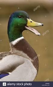 mallard duck anas platyrhynchos male calling close up of