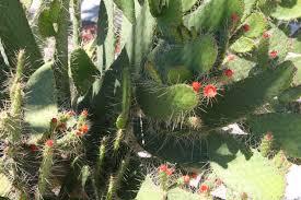 florida keys native plants native florida wildflowers semaphore cactus opuntia corallicola