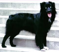 australian shepherd k black aussies