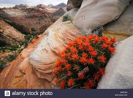 indian paintbrush flower indian paintbrush flowers zion national park stock photo royalty