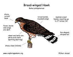 hawk broad winged