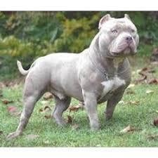 american eskimo dog price in india pet dogs in delhi india indiamart