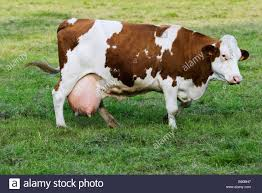 montbeliard dairy cow side view stock photo royalty free image