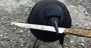 Crow Meme - bizarre picture of crow carrying knife in intimidating manner goes