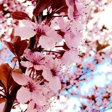 cherry blossom flowers free images branch flower petal food produce pink