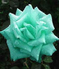 Tiffany Blue Flowers Tiffany Blue Rose Flowers U0026 Plants Pinterest Blue Roses