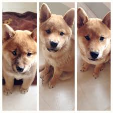 american eskimo dog growth chart shiba inu mixed with eskimo 3 months old so innocent looking but