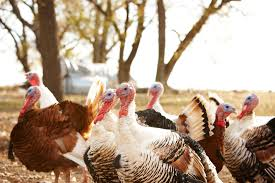 best place to buy turkey for thanksgiving where to buy turkey poults hatcheries and suppliers