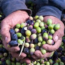 fresh fruit delivery monthly california s finest olive club monthly frog hollow farm