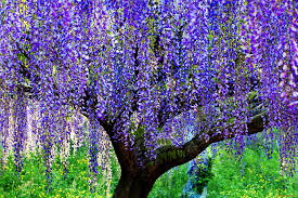 misc wisteria tree grass blue nice summer nature beautiful lovely
