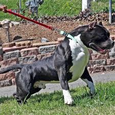 american pitbull terrier gray huge 100 pound xxl large male pitbulls bully xtreme