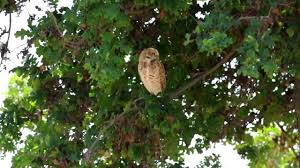 burrowing owl in tree in davis ca