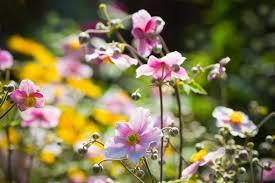anemones flowers fall blooming anemones japanese anemones