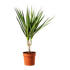 Easy To Care For Indoor Plants Dracaena Marginata Potted Plant Ikea Easy To Care For Plant I