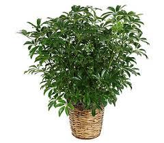 funeral plants schefflera plant in wi felly s flowers