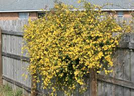 yellow jasmine brightens yards as a ground cover in containers