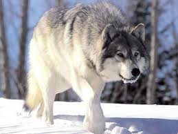 173 best wolf moving images on pinterest animals wolf and