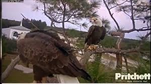 thanksgiving eagles swfl eagle cam thanksgiving evening with harriet u0026 m15 nov 24
