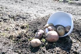 Container Gardening Potatoes - container gardening with potatoes salisbury greenhouse
