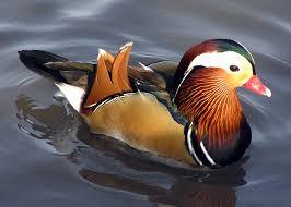 duck symbolism a message spirit animal totems