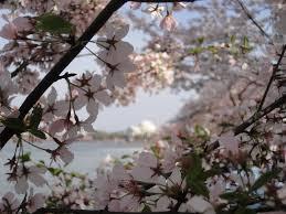 cherry blossoms uc santa barbara ucdc program