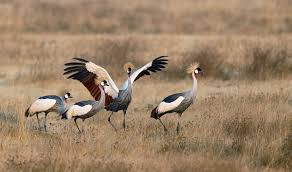 world u0027s most beautiful crane species arthur morris birds as art