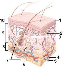 Anatomy And Physiology Labeling Webanatomy Skin 1