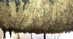 chambre de sechage cannabis petit guide du cannabiculteur domhertz com