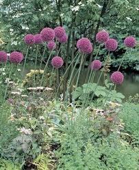 buy ornamental allium giganteum delivery by crocus