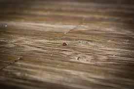 Powder Post Beetles In Hardwood Floors - what do beetles eat around your home and outside earthkind