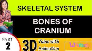 Anatomy And Physiology Skeletal System Test Bones Of Cranium Skeletal System Class 12 11 10 9 8 7 6 Cbse Neet