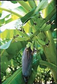banana trees apeeling plants for the garden article by plant