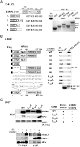 the nuclear chaperone nucleophosmin escorts an epstein barr virus