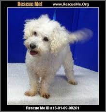 bichon frise years 3622 best little dogs need to be adopted havanese cotons