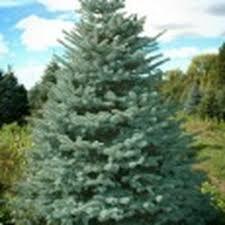 olsommers xmas tree farm 10 photos christmas trees 321