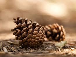 inotek a new biomimetic smart fiber inspired by pine cones that